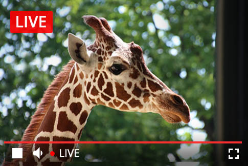April-the-giraffe-live-stream-thumb