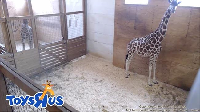 april-the-giraffe-toys-r-us-still